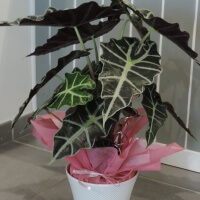 Mes conseils fleurs plantes items fan de fleurs for Alocasia d interieur