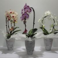 """Phalaenopsis """"Orchidée Papillon"""""""